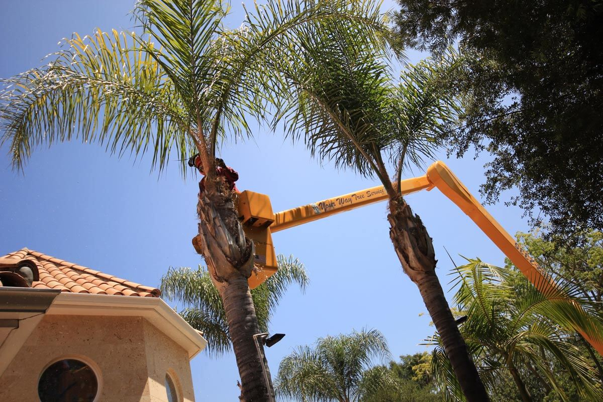 Palm Tree Trimming-San Marcos CA Tree Trimming and Stump Grinding Services-We Offer Tree Trimming Services, Tree Removal, Tree Pruning, Tree Cutting, Residential and Commercial Tree Trimming Services, Storm Damage, Emergency Tree Removal, Land Clearing, Tree Companies, Tree Care Service, Stump Grinding, and we're the Best Tree Trimming Company Near You Guaranteed!