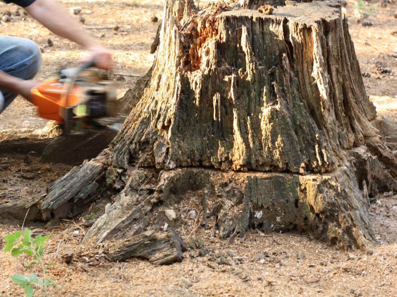 Stump Removal-San Marcos CA Tree Trimming and Stump Grinding Services-We Offer Tree Trimming Services, Tree Removal, Tree Pruning, Tree Cutting, Residential and Commercial Tree Trimming Services, Storm Damage, Emergency Tree Removal, Land Clearing, Tree Companies, Tree Care Service, Stump Grinding, and we're the Best Tree Trimming Company Near You Guaranteed!